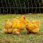 Chicken Powered Permaculture Design for Permaculture Gardens, Farming and Food Forests