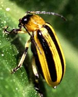 This garden pest is the Striped Cucumber Beetle