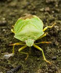 This garden pest is the Green Shield Bug