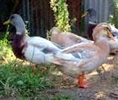 best layer a duck?