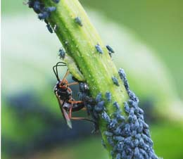 Chalcid wasp eating aphids