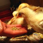 Keeping Chickens as Pets Selection and Care of Pet Chickens