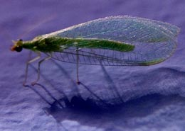 Lacewing larvae are voracious aphid eaters