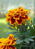 Marigold is a good fruit tree companion plant