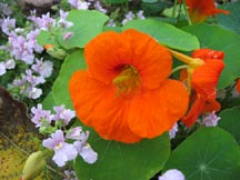 Fruit tree companion planting with nasturtium and borage