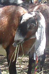 farm goat anglo nubian