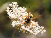 """Wasp feeding on umbelliferous plant flower. Photo: Jason Hochman"