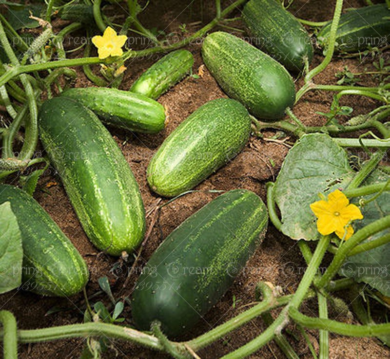 50 pcs big cucumber seeds rare NO-GMO delicious cucumber fruit and vegetable seeds for home ...
