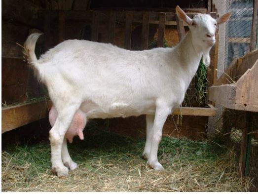 nice dairy goats